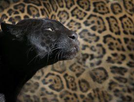 Állatszimbólumok: a Párduc/Fekete párduc szimbolikája